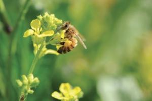 Les abeilles sont ainsi utilisées comme témoins positifs de la qualité de l'air. Et donc aussi de la pollution, qui peut affecter cet air, notamment dans l'environnement de ces carrières et sites de production [©DR]
