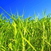 Cousin du maïs ou de la canne à sucre, le miscanthus est une plante originaire d'Asie. [©Novabiom]